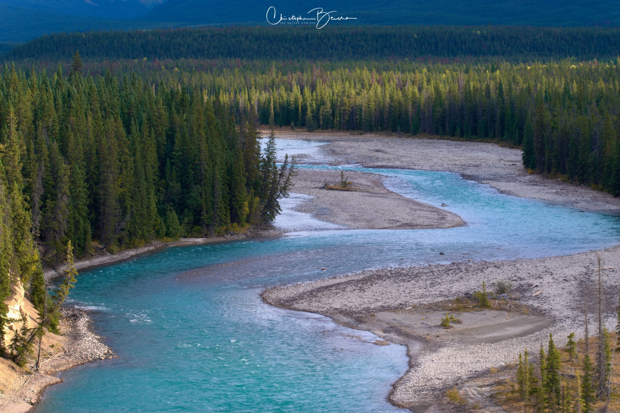 A section of Athabasca River, meandering through the valley as it is surrounded by pine forest.