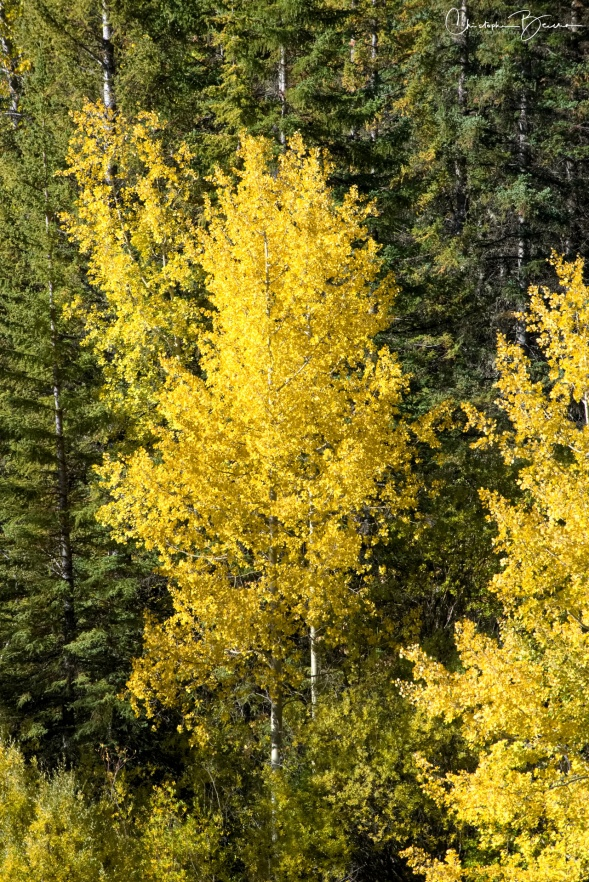 Along with the yellow leaves, the white bark is particular of this tree.