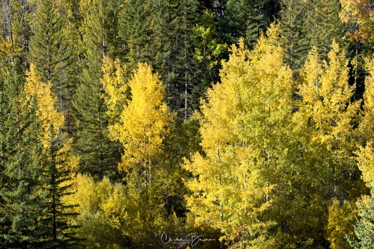 More yellow wonder. The forest is mixed, featuring both Aspen and Pine co-inhabiting this place.