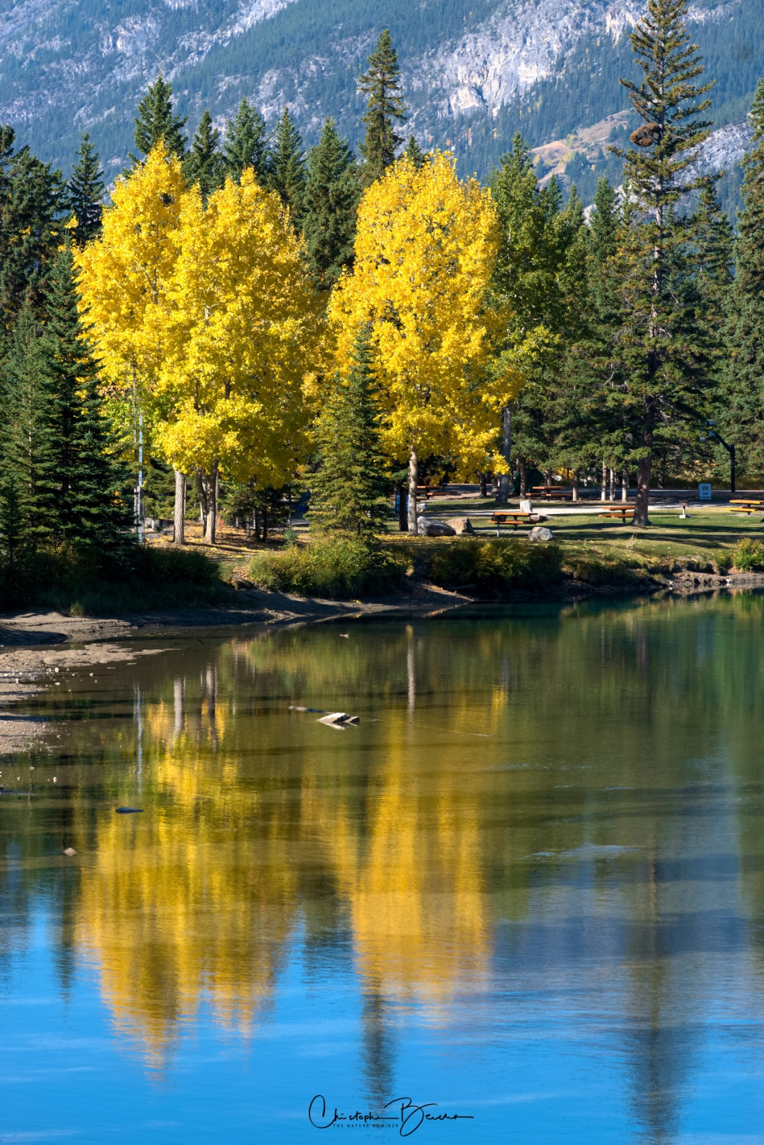The reflection of these yellow Aspen trees on Bow River captured my attention.