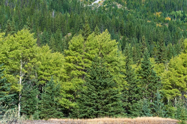 The darker green trees are Pine trees, while the paler ones are Aspen that have not yet turned to fall colors.