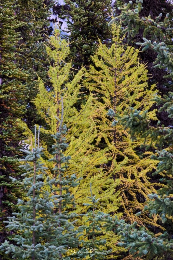 And those seem to be young pine trees. Their yellow coloration contrasts nicely with the rest of the forest.
