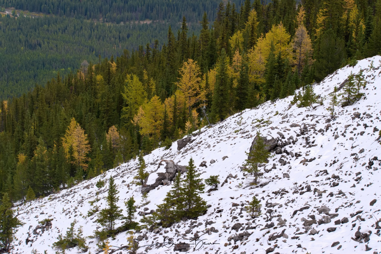 Snow still covered the ground from the previous week's snowfall. A bit of yellow was emerging from the Aspen.