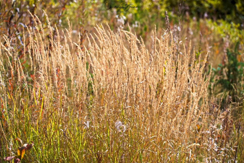 We did go up the Ski Resort through another Gondola. Up there, I found nice vegetation, in particular this grass that turned golden with the sunlight.