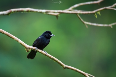 White-lined Tanager